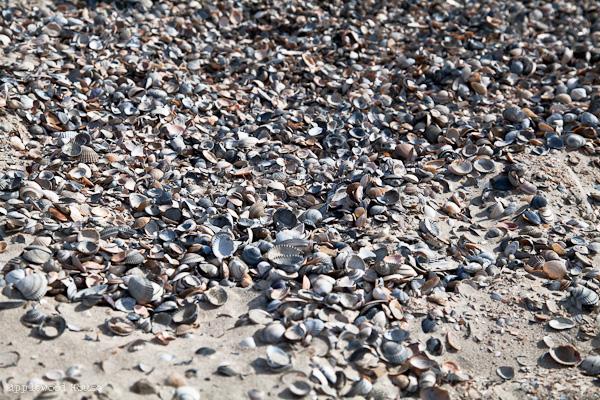 Muscheln am Strand Norderney