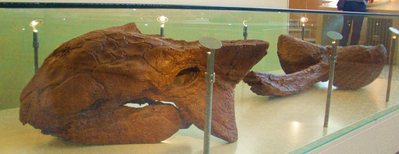 Il nome Ankilosaurus vuole dire rettile fuso