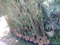 bambu telisik kuning