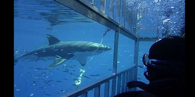 Kegiatan Paling Menyenangkan Saat Berlibur Ala Bule - Cage diving di Afrika Selatan