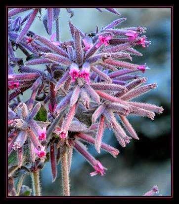 bronşite iyi gelen şifalı bitkiler