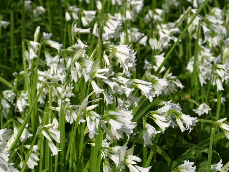 White Bluebells?
