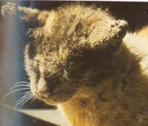 penanganan kutu kucing dengan cara alami
