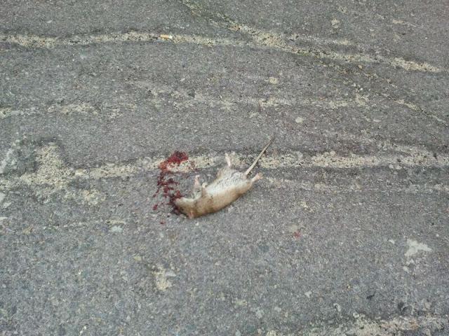 rata muerta en los praos