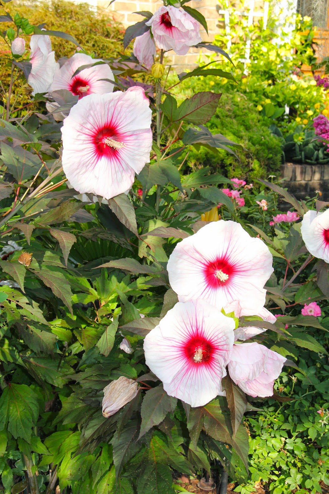 Tropical gardening in new york city some kopper king hibiscus blooms my kopper king hibiscus was blooming at its peak and its a sight to see when its blooming at its finest i counted 12 blooms on it in one day izmirmasajfo