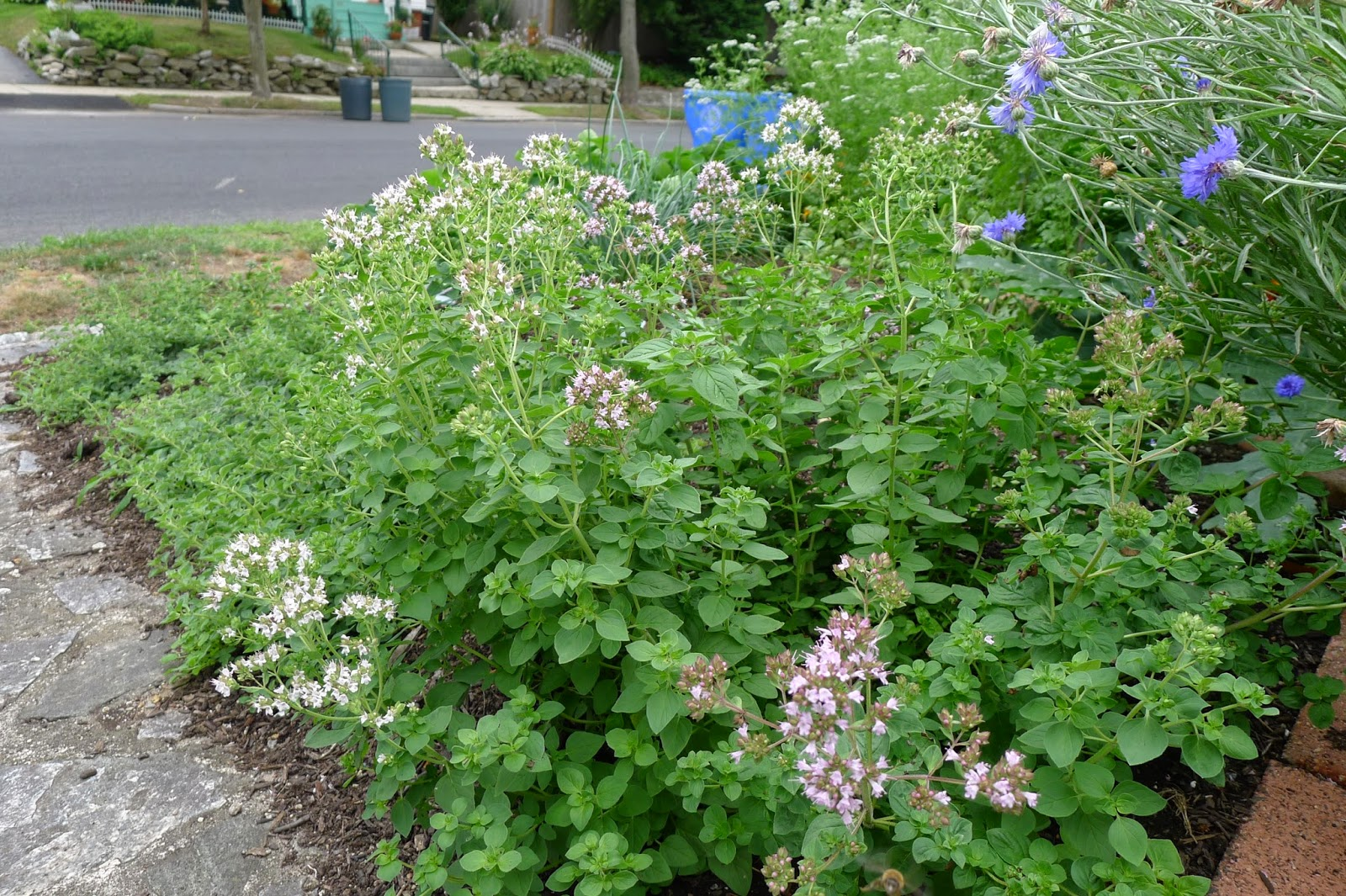 Less Noise,More Green Edible Landscape Project: oregano, Origanum vulgare hirtum, perennial, herb
