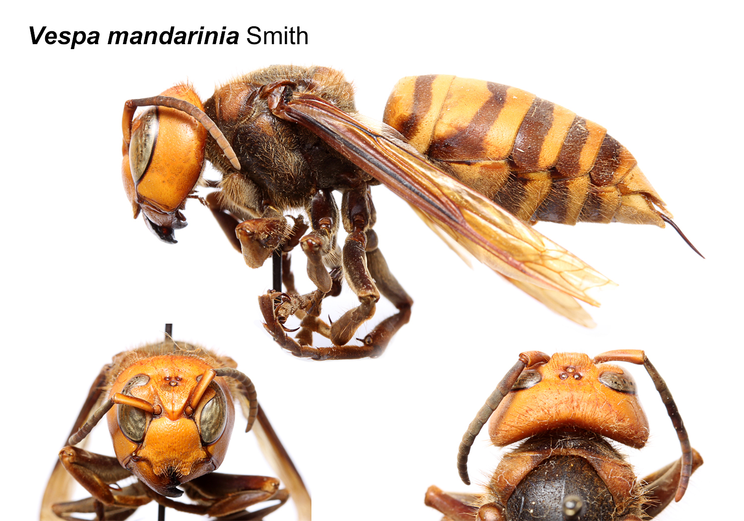 NCSU PDIC Are Asian Or Japanese Giant Hornets In The United States - Wasps us map
