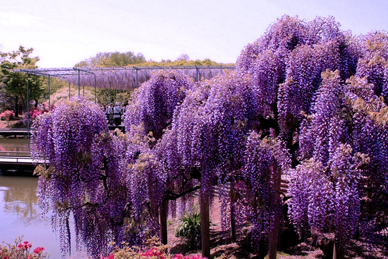 World travel places wisteria tunnel japan Wisteria flower tunnel path in japan