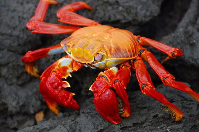 Red Crab The Biggest Animals Kingdom