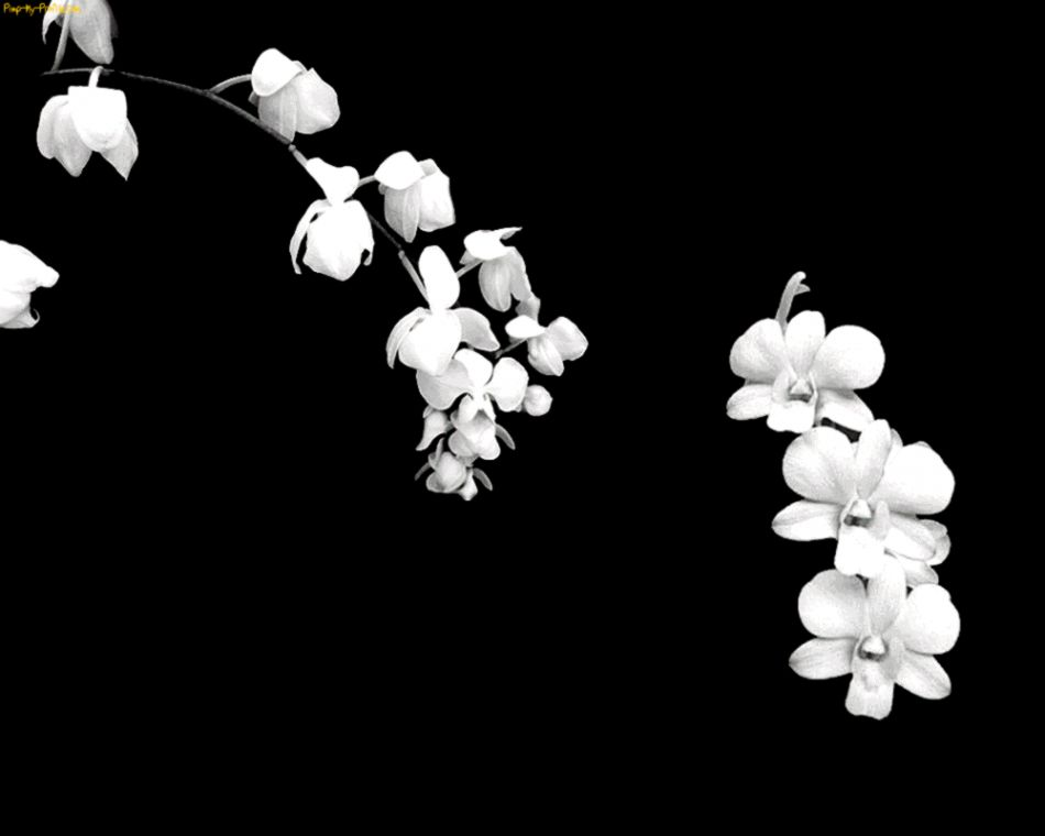 White flower black background amazing wallpapers view original size black white flower black wallpapers pinterest dark mightylinksfo