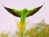 #6 Parakeet Wallpaper