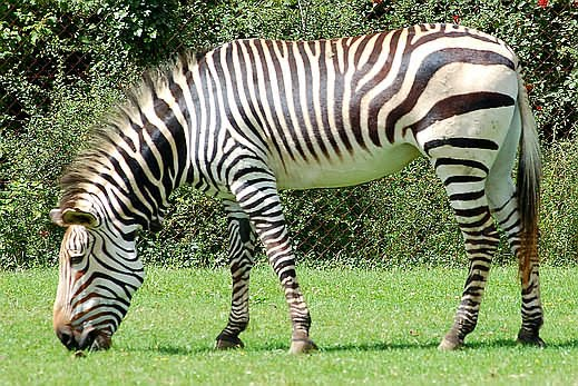 There are 3 species of zebra  Zebra Weight