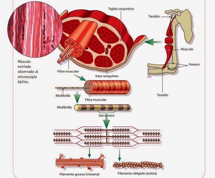 Organización de un músculo estriado