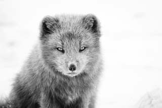 arctic fox snow wild animal