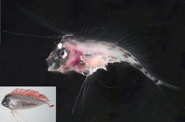 Larval ribbonfish