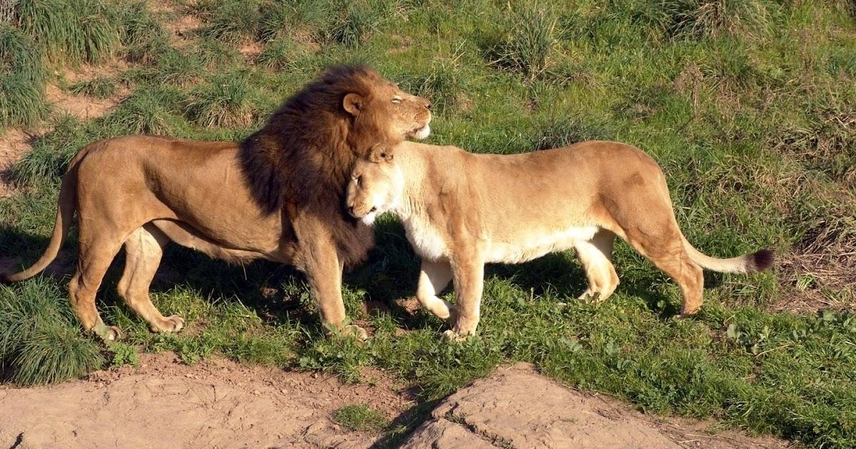 Imagenes de leones imagen leon y leona juntos - Animales salvajes apareandose ...