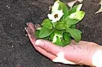 Mano di persona che interra una pianta fiorita e fa movimento fisico
