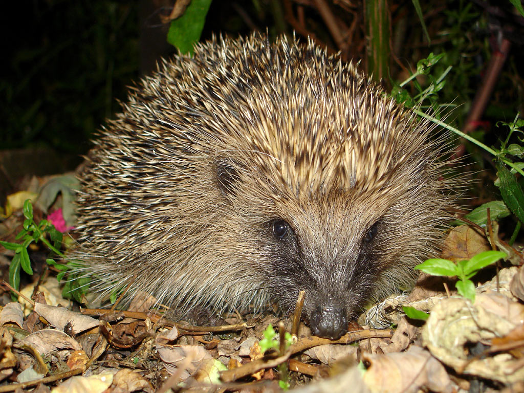 Amazing Hedgehog - Hedgehogs Facts, Photos, Information ...