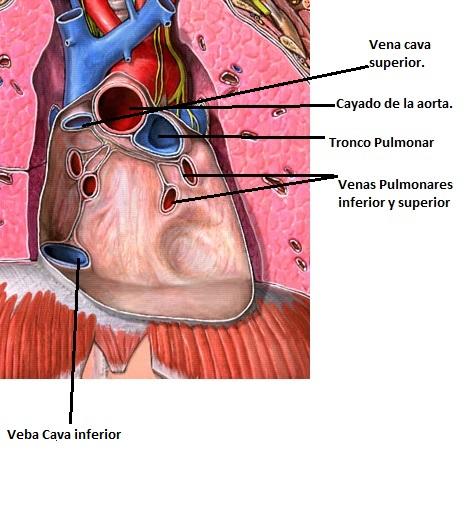 Ventilación pulmonar   sistema cardiovascular