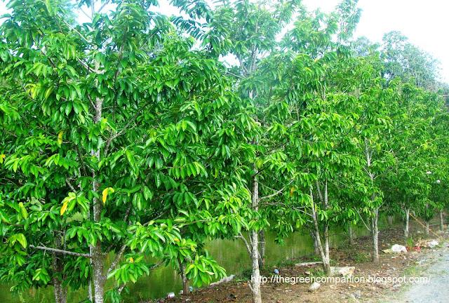 Where can i buy a graviola tree