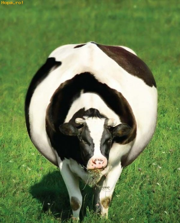A fat cow with a fat ass 9