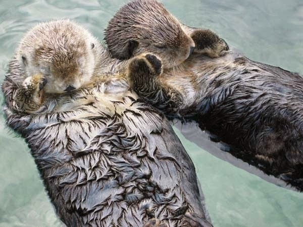 Here Are 24 Awesome Things You Didn't Know About Animals. #11 Just Made My Week. - Sea otters hold each other's paws when they sleep so they don't drift apart