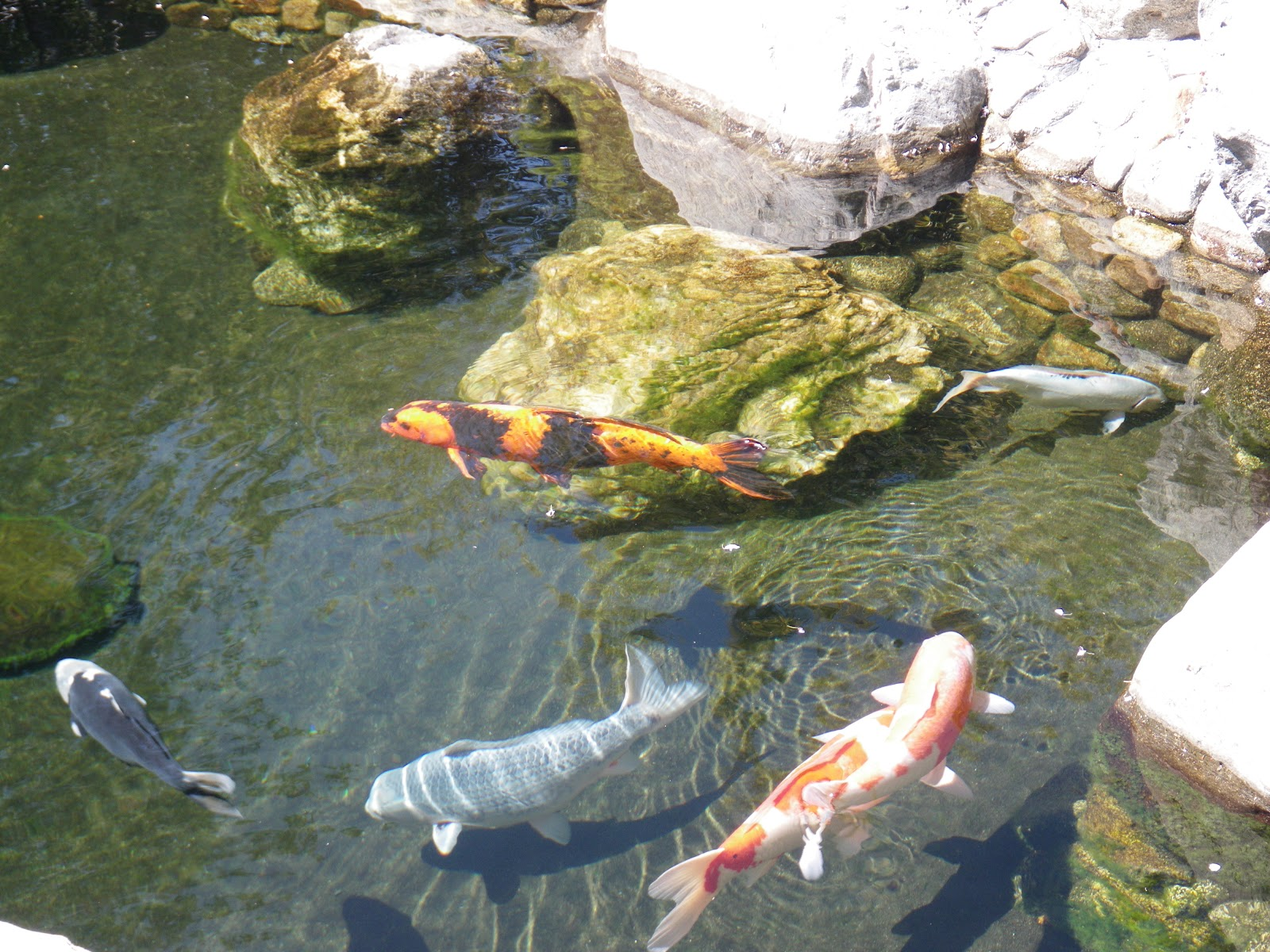 This notion of life for Koi pond japanese tea garden san francisco