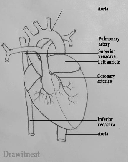 Draw it neat how to draw human heart labeled for Exterior of heart diagram