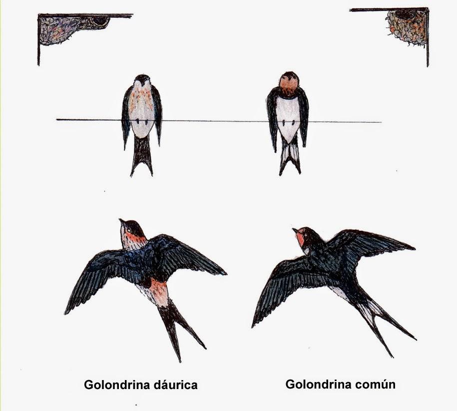 Curiosidades y ciencia - Página 23 Golondrinas