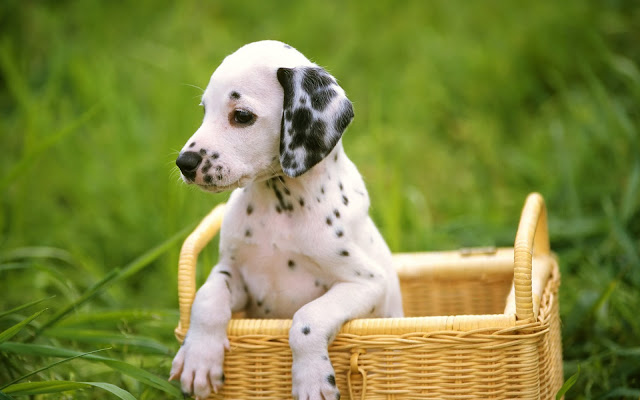 Dalmatians Puppies Dogs