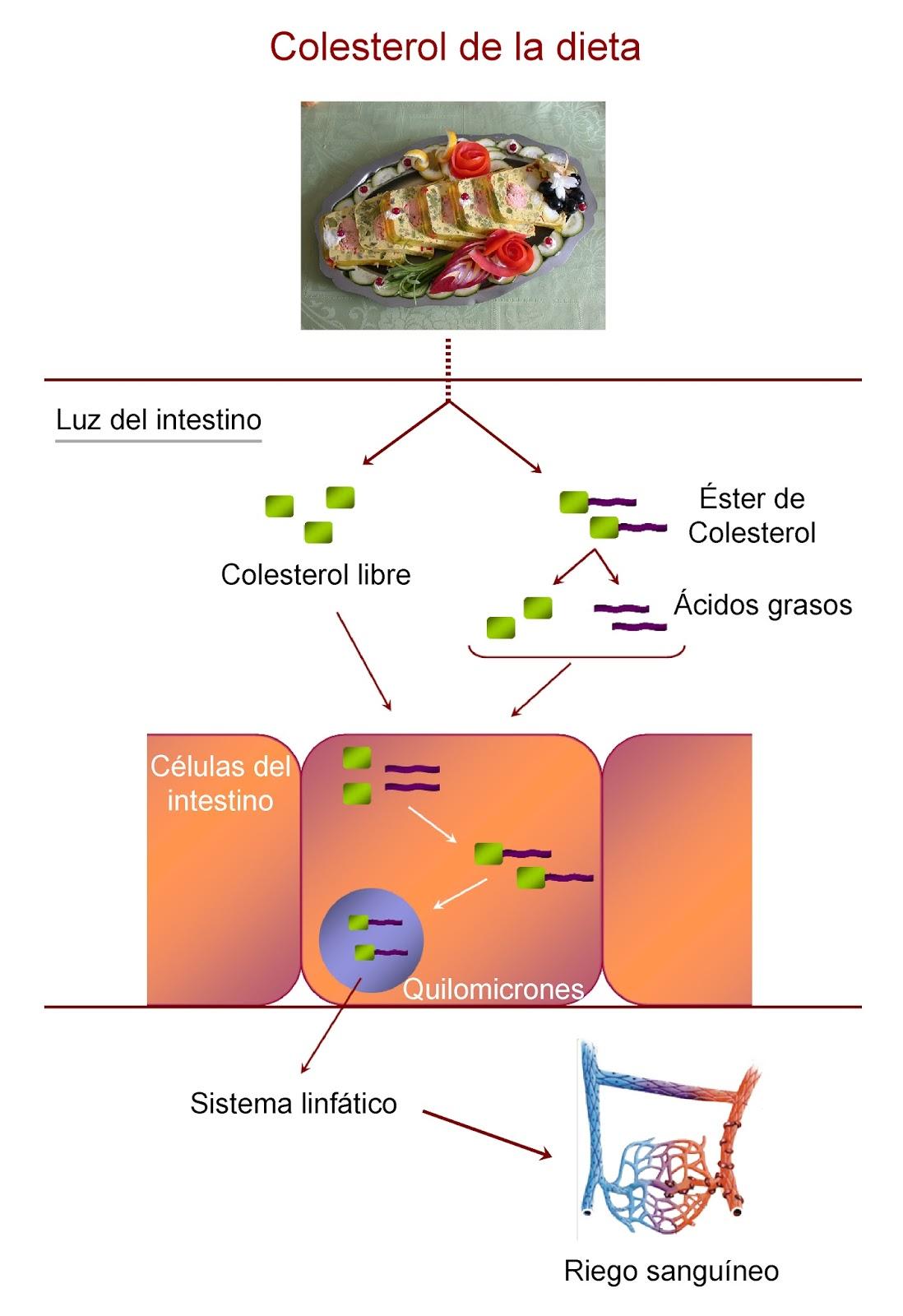 Digestión y absorción del colesterol de la dieta