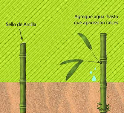 Bamb venezuela para cultivar bamb - Cultivo del bambu ...