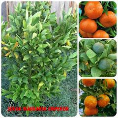 Jeruk Emperor Mandarin
