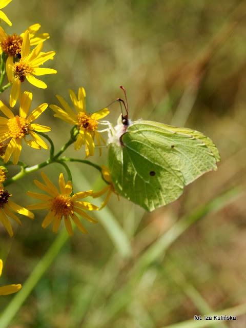 listkowiec cytrynek , motyl , motylek , motyle Polski , łąka , wycieczka , Podlasie , owady