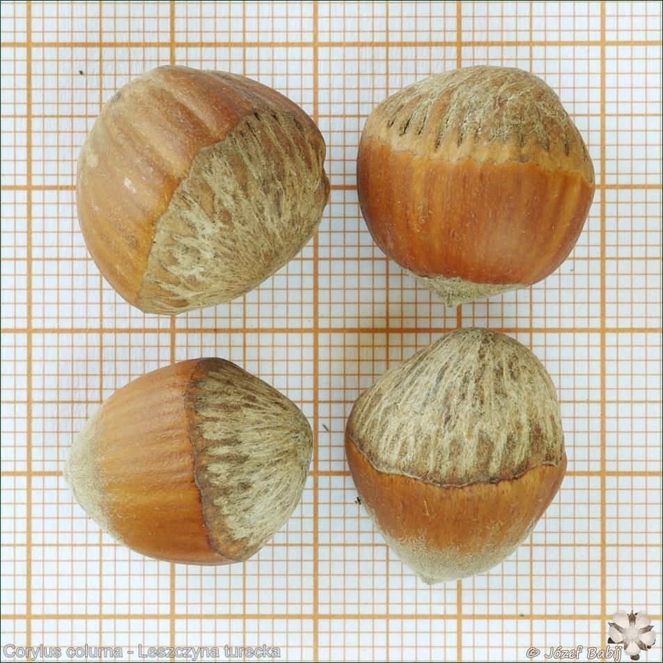 Corylus colurna seeds - Leszczyna turecka owoce