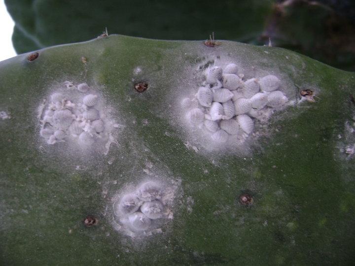 La grana colorante de cochinilla - cinabrio blog