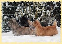 Cairn Terrier Gipsy, Henry und Dodo