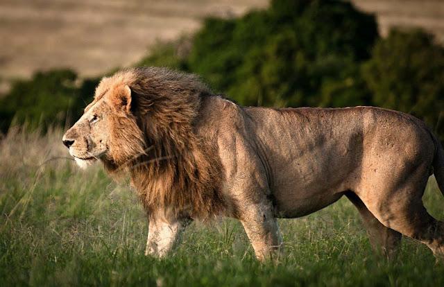 Lion V Tiger