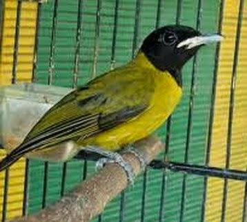 burung kutilang sutra jantan gacor