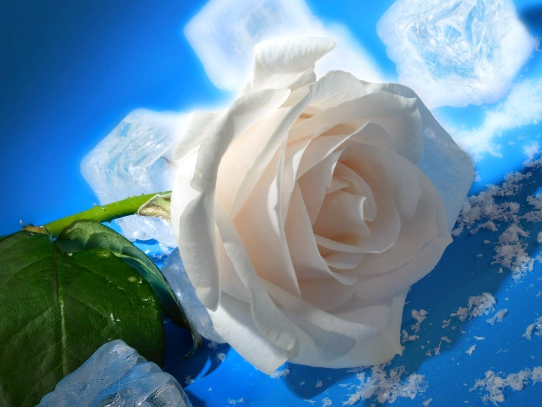 White Rose Wallpaper Hd Wallpapers