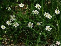 Stellaria holostea - Gwiazdnica wielkokwiatowa