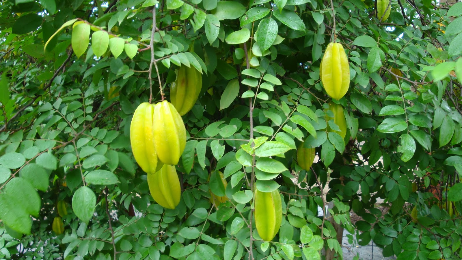 Wallpaper Amazing Health Benefits of Star Fruit