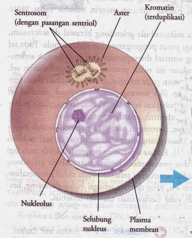 Finish well un biologi tahap tahap pembelahan mitosis meiosis interfaseg ccuart Image collections