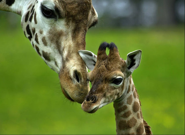 baby animals, cute animals, baby giraffe