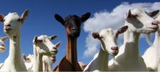Hashtag #GoatsAgainstISIS On Twitter