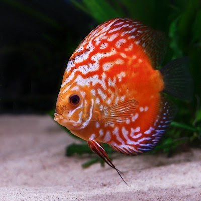 Discus Fish are beautiful pets