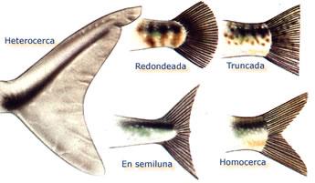 info animales aletas peces seos