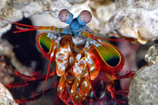 mantis shrimp habitat