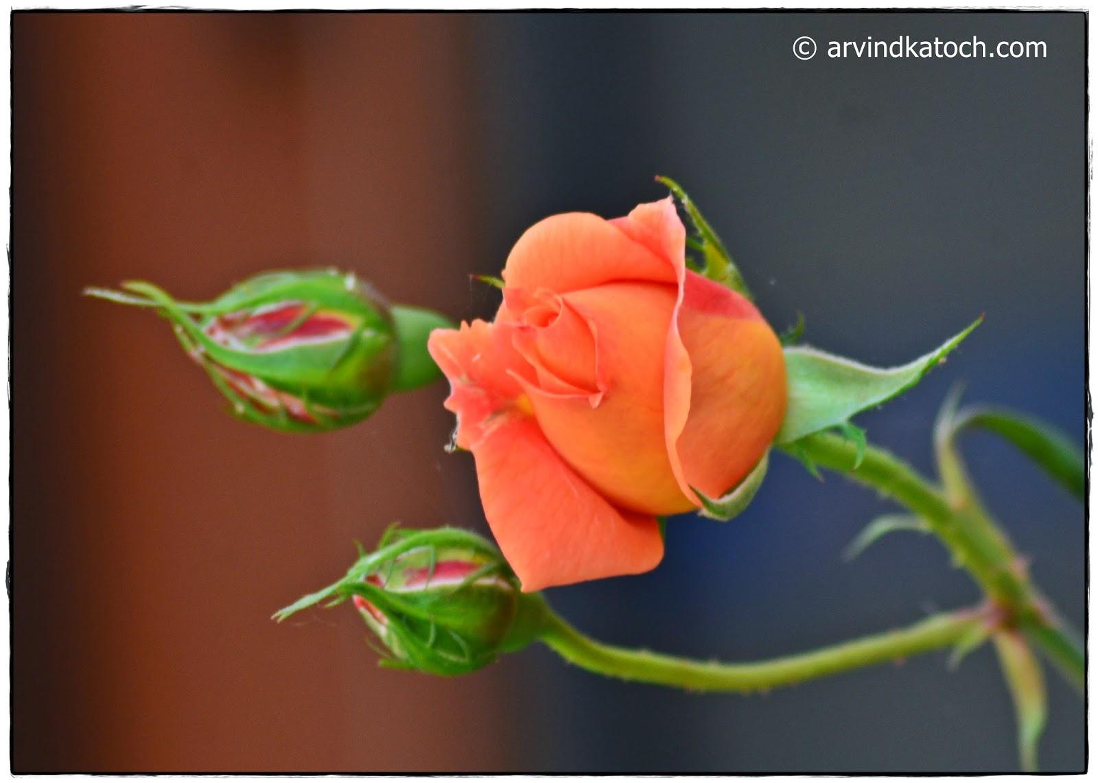 Rose, Buds,