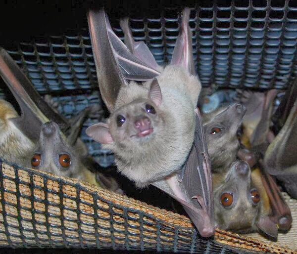 Funny animals of the week - 27 December 2013 (40 pics), bat picture